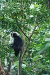 Hvithode ape