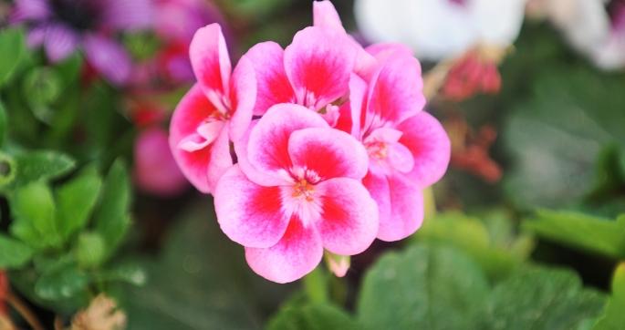 Rosa blomst